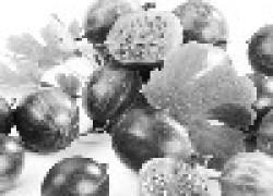 Болезни и вредители крыжовника и смородины
