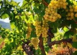 Как улучшить почву на винограднике и в огороде
