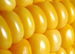 Кукуруза – сладкий деликатес
