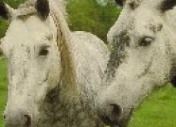 Как вывести перхоть из гривы коня