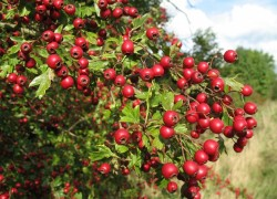 Почему нет плодов у боярышника