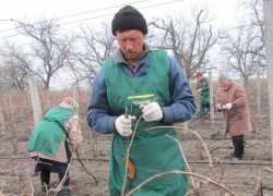 Когда начинать обрезку кустов винограда