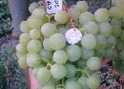 Сорт винограда Белое Чудо