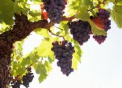 Где растет виноград, который не надо укрывать