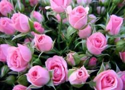 Болезни и вредители розы