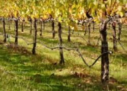 Если виноградник не укрывной
