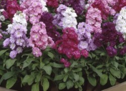 Принцесса на балу цветов – ночная фиалка