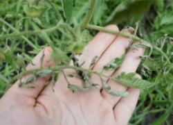 Почему на помидорах скручиваются листья