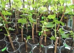 Виноград черенками – дешево и практично