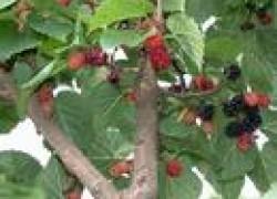 Прививка винограда на шелковицу