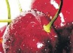 Гибрид вишни и алычи