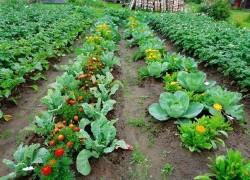 Овощи, которые защищают друг друга