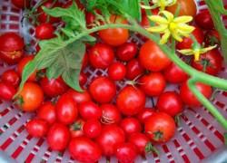 Я собрала 106 ведер помидоров