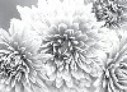 Золотые цветы – хризантемы