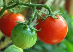 Кто испортил помидоры