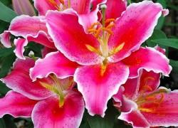 Где купить древовидную лилию
