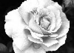 Розы против язвы
