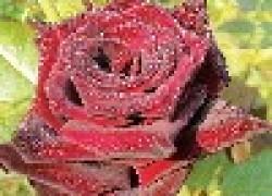 Украсьте сад бокаловидными розами