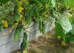Спасаем урожай после дождей