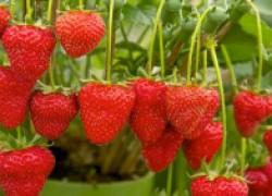 Сажайте клубнику и наслаждайтесь этой чудесной ягодой!