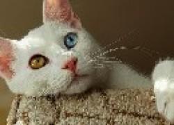 Турецкий ван – порода кошек с разными глазами