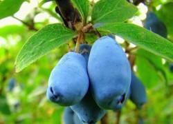 Советуем посадить редкую ягоду – жимолость