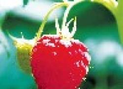 Почему засыхают ягоды малины