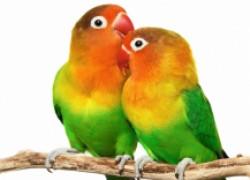 Как заставить попугая говорить?