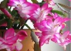Как заставить декабриста цвести