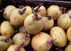 Выбираем клубни картофеля на семена