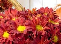 Как вырастить красивые хризантемы