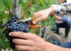 Зачем прореживать кисти винограда