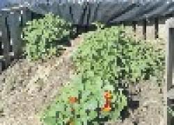 Сорняки на удобрение