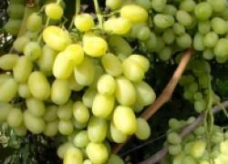 Экспресс-диагностика болезней винограда