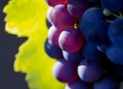 Самые крупные сорта винограда