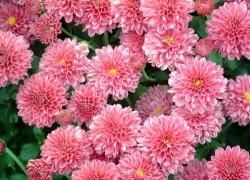 Когда и чем удобрять хризантемы