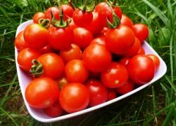 Французские помидоры для теплицы
