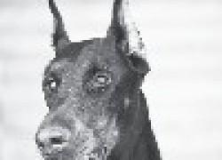 Доберман собака сборщика налогов