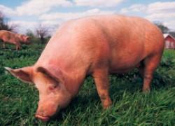 Чем болела моя свинья