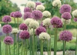 Декоративный лук – аллиум