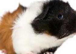 У морской свинки бегающие вши