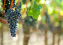 Как и когда поливать виноград