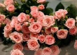 Как я размножаю розы