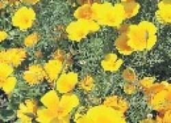 Эшшольция – солнечный цветочек