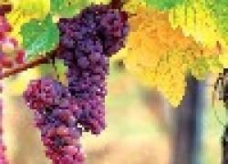 Виноград в опилках