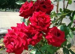 Почему погибли розы