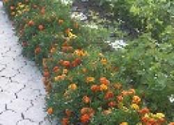 Какой кустарник можно посадить между вишней и алычей?