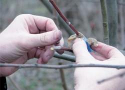 Садовый вар для лечения деревьев