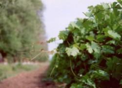 Почему и как я защищаю лозу винограда от холодов