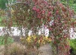 Почему плачут карликовые деревья